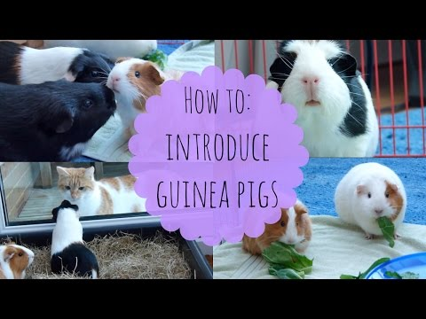 How To: Introduce Guinea Pigs