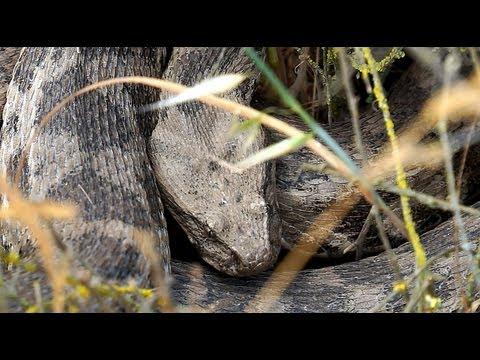 Вопрос: Какая из ядовитых змей самая маленькая Ареал этого вида змей?