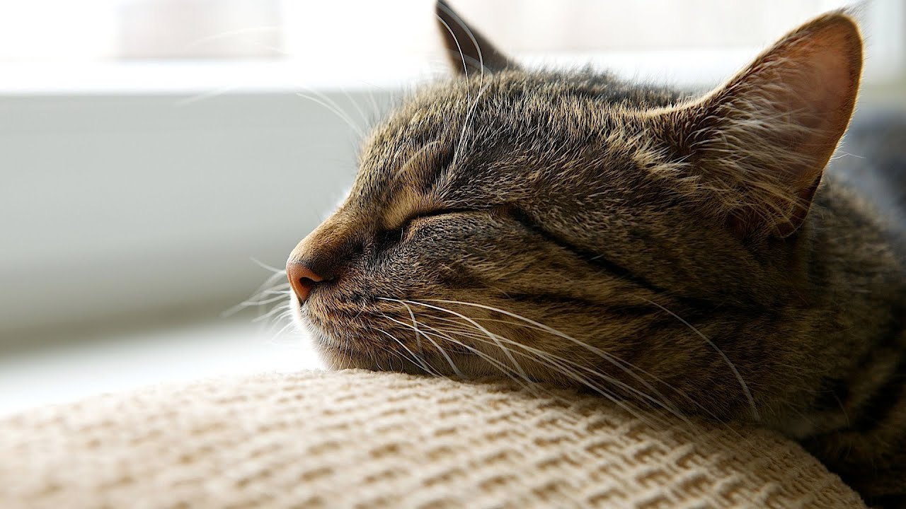 clavamox for cats side effects
