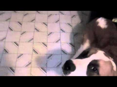 dog-training-101-how-to-transform-your-st-bernard-from-a-menacing-puppy-into-a-loyal-and-obedient-companion
