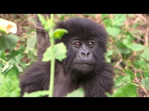 Rwanda's gorillas become new face of climate change