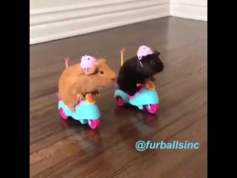 Guinea Pigs driving Scooters / Tricycles | Funny Video
