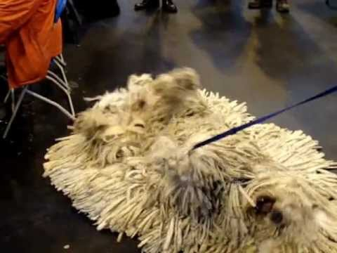 Agatha the Komondor - Best in Breed, Crufts 2013