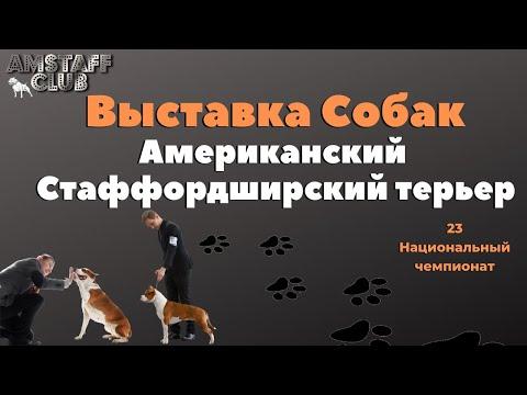 Стаффордширский Терьер, чемпионат.Выставка собак породы Американский Стаффордширский терьер
