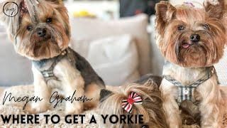 Where To Get A Yorkie | Yorkie 101