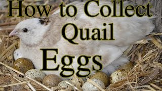 How to Collect Quail Eggs & Other Tips