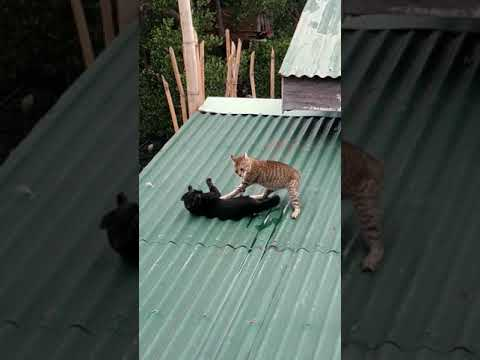 Cats fighting on our neighbor's roof (watch till the end)