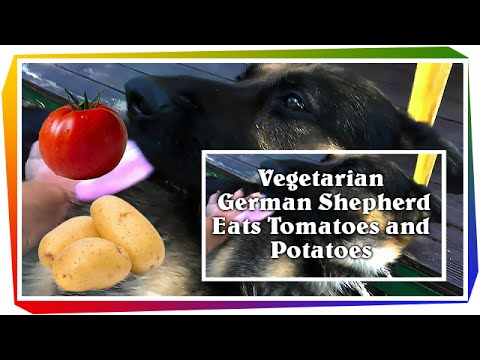 What is the Best Diet for a German Shepherd Puppy?