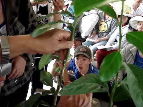 Kỹ thuật ghép cây có múi sạch bệnh (part 2.2)