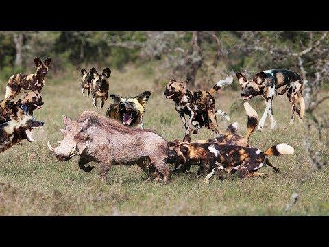 Warthog Suddenly Encountered Wild Dog. Tragic Death For Warthog