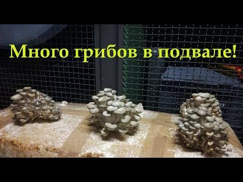 выращивание грибов веш