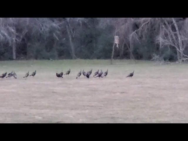 Turkeys at the Hallettsville TX Ranch (K Bar Ranch is 965± acres for sale)