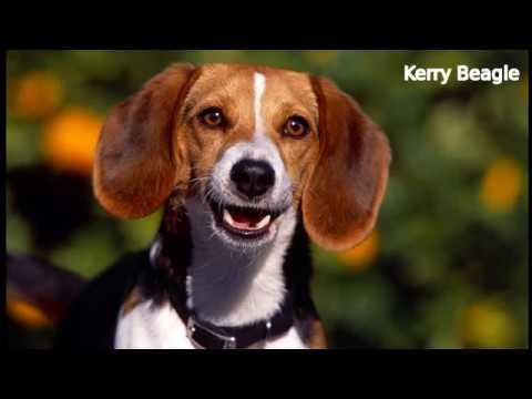 Kerry Beagle - medium sized dog breed