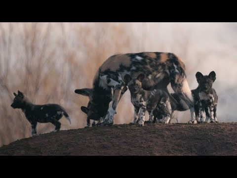 African painted dog pups make playful debut at Chester Zoo