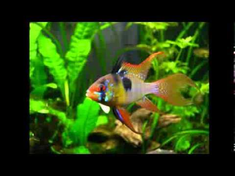 Los peces mas bonitos marinos y de agua dulce youtube for Peces de agua estancada