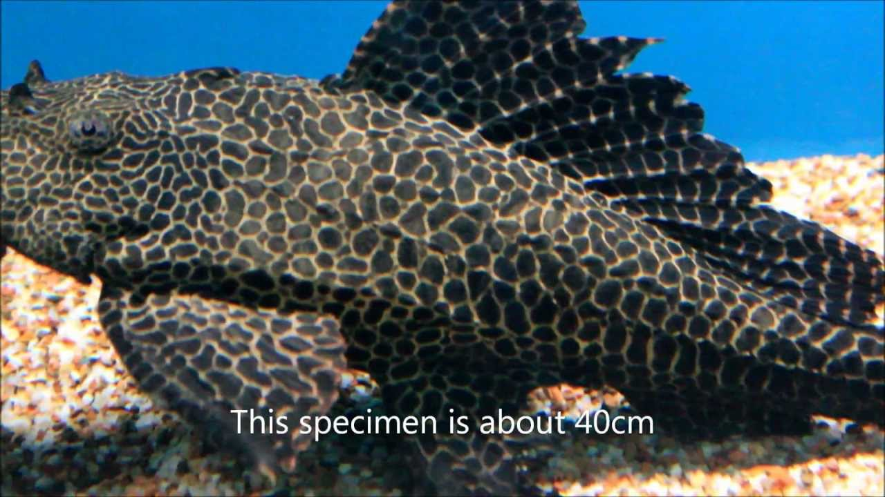 Hints On How To Keep The Large Spotted Pleco - Youtube