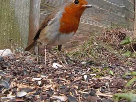 Garden Birds feeding (spring)