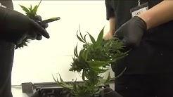 New Mexico medical marijuana laws may apply to Texans, too