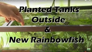 How to grow aquarium plants: Planted Tanks outside, New Rainbowfish, Live in NYC
