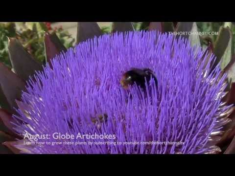 Appreciating Nature: Bees and red-tailed Bumblebees collecting pollen from Globe Artichokes