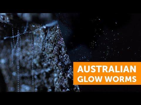 Australia's Glow Worms: A Stunning Larva Light Show