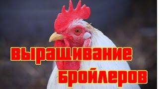 видео Выращивания цыплят-бройлеров