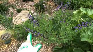 A quick look at Baptisia growing in my rain garden. Learn about the...