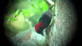 Red-headed Malimbe