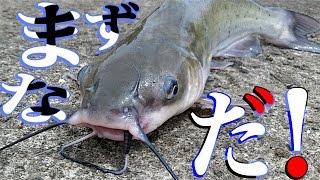アメリカナマズを釣って食う River-fishing Catch & Eat thumbnail