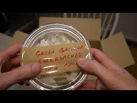 Green Banana Cockroaches! (Virginia Cheeseman Unboxing)
