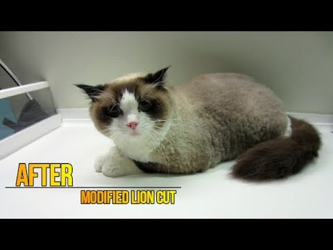 Ragdoll Cat - Modified Lion Cut
