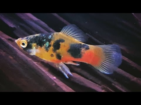 Important Tips On Platy Fish Care | How To Care For Platy Fish
