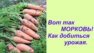 Вот так МОРКОВЬ! Как добиться урожая.(Урожай моркови 2015 г., витаминная грядка осень 2015 г. И еще раз о сидератах. Другие видео на огородную тематик..., 2015-10-03T22:29:52.000Z)