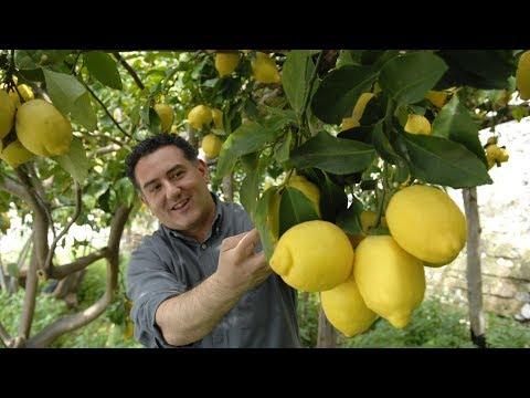 Богатый урожай лимонов в Азербайджане