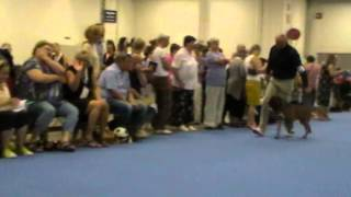 World Dog Show 2014 boxer male intermediate 07 Kiliano De Villacharra