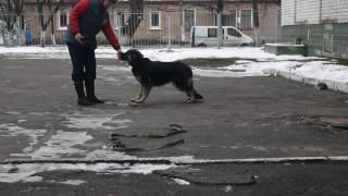 Дрессировка собак Житомир