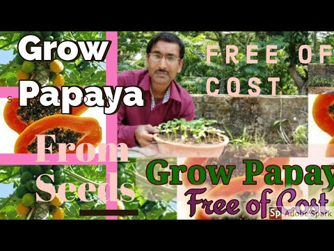 Grow Best Quality Papaya  : Totally Free of Cost 100 % Results !!!