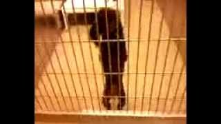 Must See! Adorable Dancing Poodle At The Maryland Spca!! Cuteness Overload!