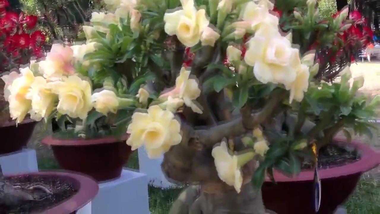 Адениум. Красивые цветы. Выращивание и уход за адениумом ...