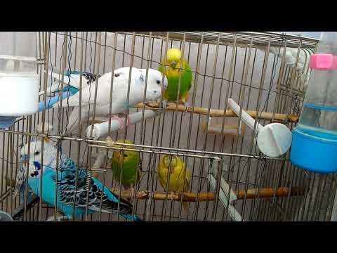 ..:: Dinletin ve Kuşunuzu mutlu edin, şarkılar söylesin ::.. muhabbet kuşu sesi, ötmemesi imkansız