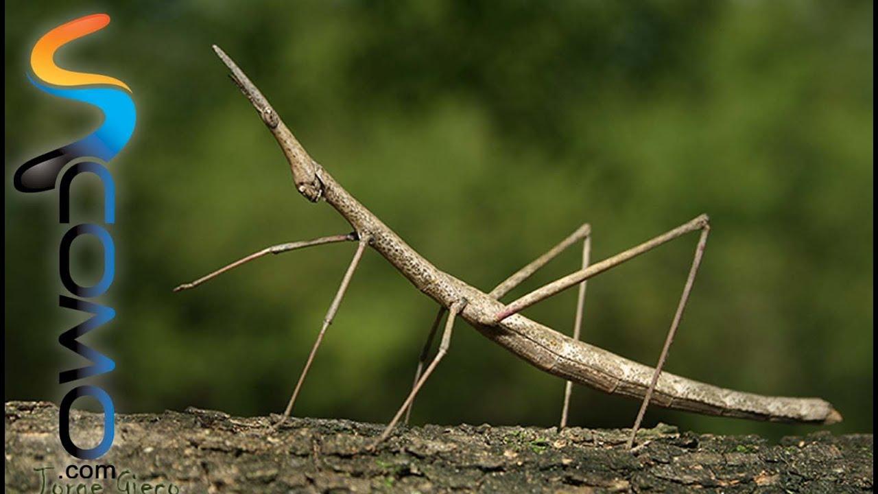 El insecto palo stick insect youtube - Bichos en casa fotos ...