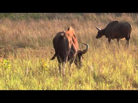 Индия  Национальный парк Канха