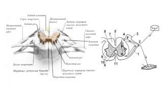 Биология в картинках: Строение спинного мозга (Вып. 48)