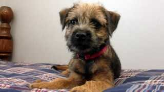 12 Week Old Border Terrier, Millie, Learns To Leave It