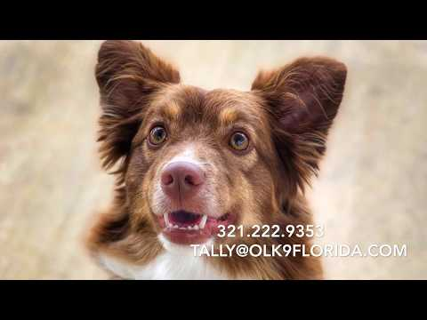 "18 Month Old Mini Aussie ""Cooper"" 