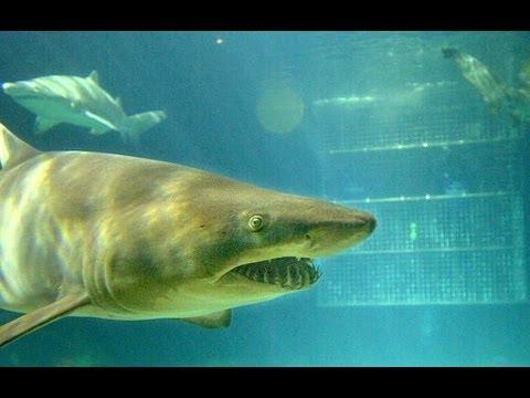 Shark Encounter SeaWorld Orlando Florida 2012 HD