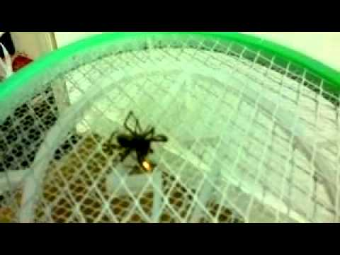 FAT HAIRY SPIDER GETS OWNED  CHINESE ELECTRIC BUG ZAPPER