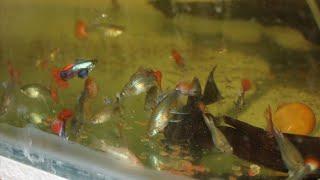 Balkonda balık üretimi budur:)
