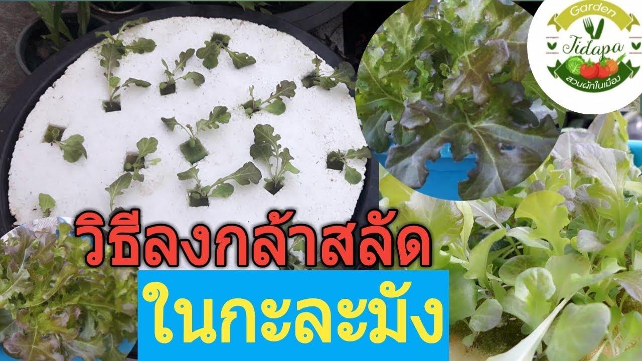 วิธีเพาะเมล็ดผักไฮโดรโปนิกส์ ||ปลูกผักสลัด,ให้กอใหญ่ แตกใบสวย, grow vegetable at home. ep.13