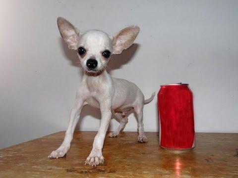 Foto chihuahua toy pelo corto